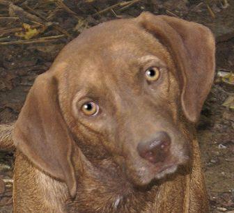 Labrador Retriever/Hound (Unknown Type) Mix Dog for adoption in Hagerstown, Maryland - Romeo