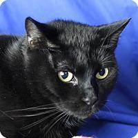 Domestic Shorthair Cat for adoption in Winston-Salem, North Carolina - Heidi