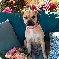 Adopt A Pet :: Georgia - Toluca Lake, CA
