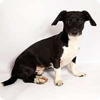 Adopt A Pet :: Devon DashMix - St. Louis, MO