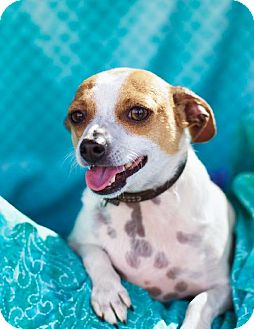 Terrier (Unknown Type, Medium)/Chihuahua Mix Dog for adoption in Campbell, California - Jiggy