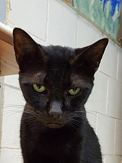 Domestic Shorthair Cat for adoption in Lago Vista, Texas - Allana