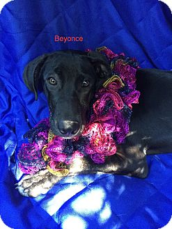 Labrador Retriever Mix Puppy for adoption in Manchester, Connecticut - Beyonce meet me 10/28