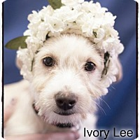 Adopt A Pet :: IvoryLee - Simi Valley, CA