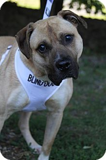 Labrador Retriever/Pit Bull Terrier Mix Dog for adoption in Wayne, New Jersey - Mombo