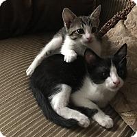Adopt A Pet :: Milo - Sarasota, FL