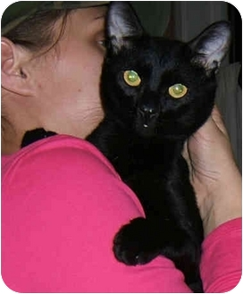 Bombay Cat for adoption in New York, New York - Gentle Ben