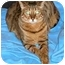 Photo 1 - Bengal Cat for adoption in Redwood City, California - Ali