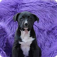 Adopt A Pet :: Marlon - New Boston, NH