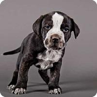 Adopt A Pet :: Dash - Austin, TX