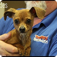 Adopt A Pet :: Skittles - Rockwall, TX