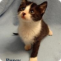 Adopt A Pet :: Percy - Bentonville, AR