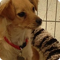 Adopt A Pet :: Shelly - Simi Valley, CA
