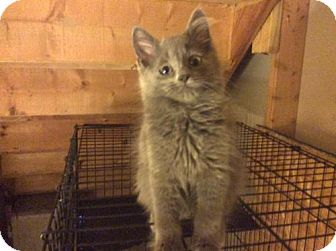 Domestic Shorthair Kitten for adoption in Rochester, Michigan - A Lil Gray