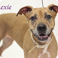 Rhodesian Ridgeback Mix Dog for adoption in Bradenton, Florida - Lexie