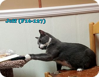 American Shorthair Cat for adoption in Tiffin, Ohio - Jeff