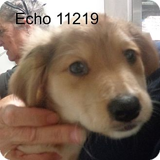 Golden Retriever/Dachshund Mix Puppy for adoption in baltimore, Maryland - Echo