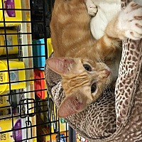 Domestic Shorthair Cat for adoption in Spring, Texas - Colby