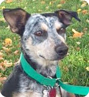 Australian Cattle Dog/Blue Heeler Mix Dog for adoption in Boulder, Colorado - Miley-Adoption Pending