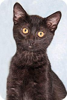 Domestic Shorthair Kitten for adoption in Encinitas, California - Rosie