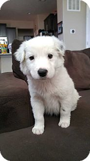 Australian Shepherd/Border Collie Mix Puppy for adoption in Billings, Montana - Romeo