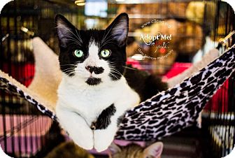 Domestic Mediumhair Kitten for adoption in Mooresville, North Carolina - A..  Hercules