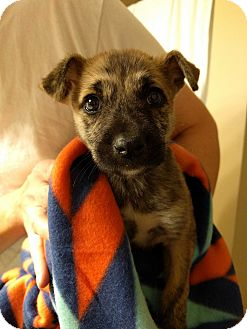 Beagle/Pug Mix Puppy for adoption in KITTERY, Maine - TALIE