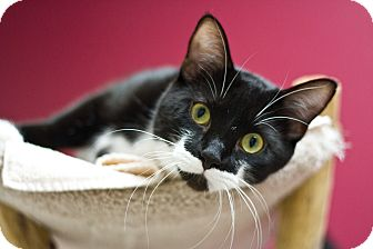 Domestic Shorthair Cat for adoption in Grayslake, Illinois - Jacks