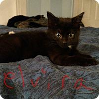 Domestic Shorthair Kitten for adoption in Warren, Ohio - Elvira
