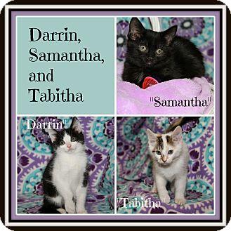 Domestic Shorthair Kitten for adoption in Marietta, Ohio - Darrin Samantha Tabitha (New)