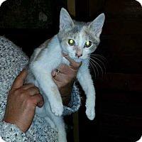 Adopt A Pet :: Suri - South Bend, IN