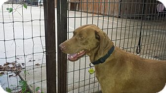 Labrador Retriever/Vizsla Mix Dog for adoption in FORT WORTH, Texas - TONY