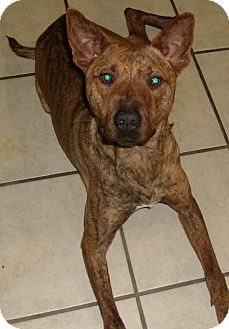 PIP   Adopted Puppy   Coudersport, PA   Basenji/Pit Bull Terrier Mix