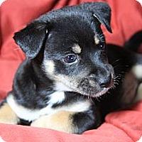 Adopt A Pet :: Scout - San Diego, CA