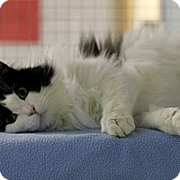 Adopt A Pet :: Patches - Mission, BC