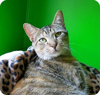 Domestic Shorthair Cat for adoption in Northbrook, Illinois - Frekkles