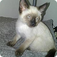 Adopt A Pet :: Bo - Addison, IL