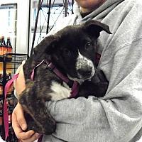Adopt A Pet :: Celeste - Buffalo, NY