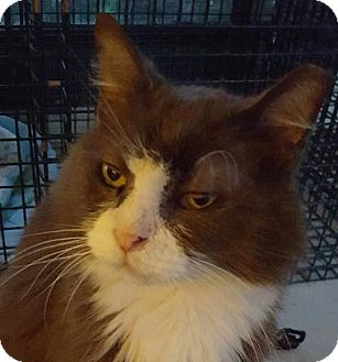 Domestic Longhair Cat for adoption in New Bedford, Massachusetts - Freshie