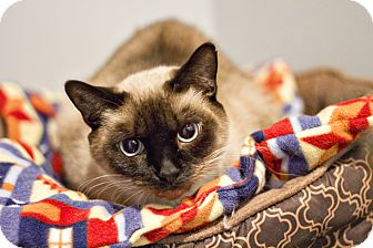 Siamese Cat for adoption in Lincoln, Nebraska - Sabrina