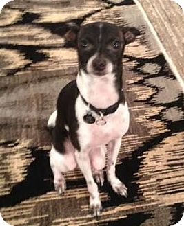 Italian Greyhound/Chihuahua Mix Dog for adoption in Seattle, Washington - Sammy