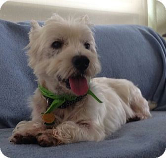 Westie, West Highland White Terrier Dog for adoption in Frisco, Texas - JAMUS-ADOPTED