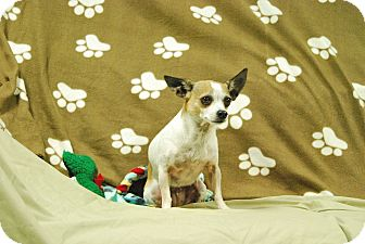 Chihuahua Dog for adoption in Hawk Point, Missouri - Scrappy