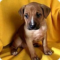 Adopt A Pet :: Cider - Detroit, MI