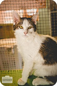 Domestic Shorthair Kitten for adoption in Leander, Texas - Nacio