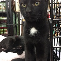 Domestic Shorthair Cat for adoption in Richmond, Virginia - Porthos