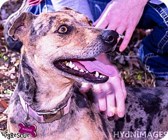 Catahoula Leopard Dog Dog for adoption in Goodlettsville, Tennessee - Tres'