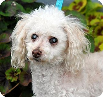Toy Poodle Dog for adoption in Pittsburg, California - *Finnigan