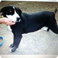 German Shorthaired Pointer/Labrador Retriever Mix Dog for adoption in Boerne, Texas - Paisley