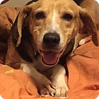 Adopt A Pet :: CALLIE - Williamsburg, VA